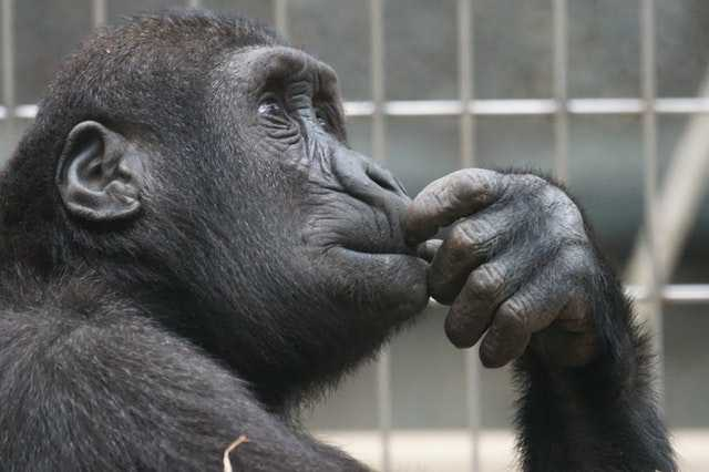view-ape-thinking-primate image