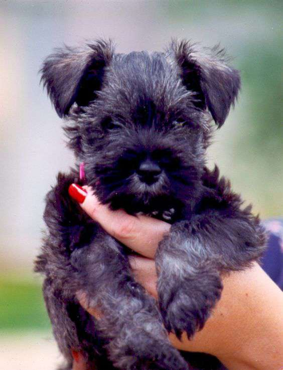 black Affenpinscher puppy holding human hand cutest photo
