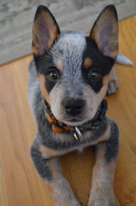 Australian Cattle Dog face close up photo