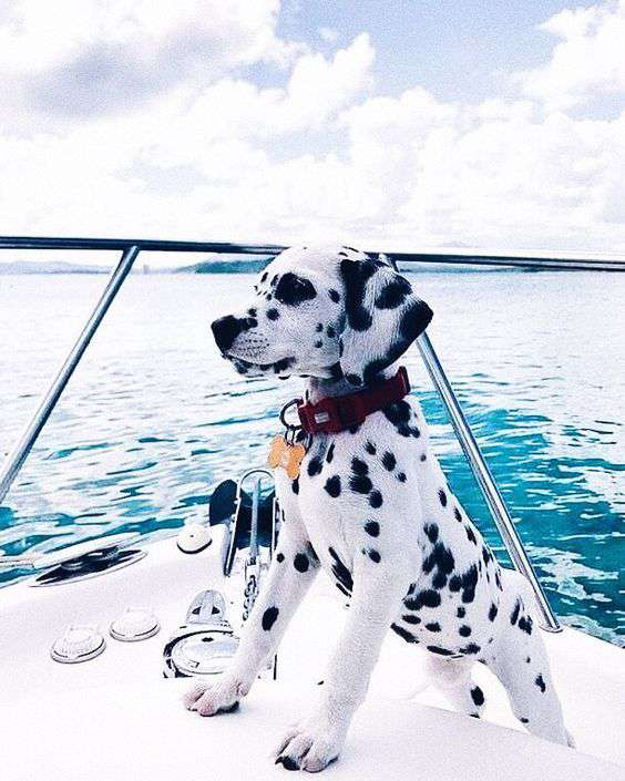 Dalmatian great photo on the beach