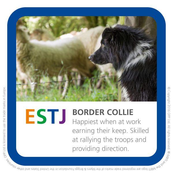 ESTJ border collie dog pic