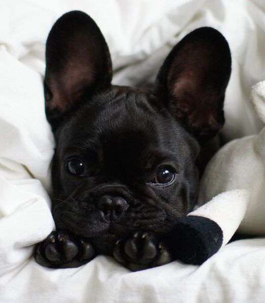 black French Bulldog puppies funy photo