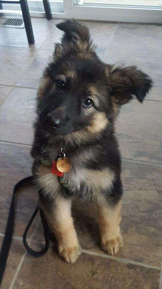 cute German Shepherd Dog breed picture