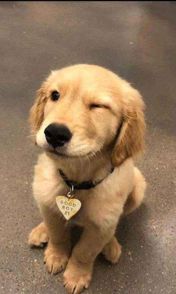 cute Golden Retriever Dog pic
