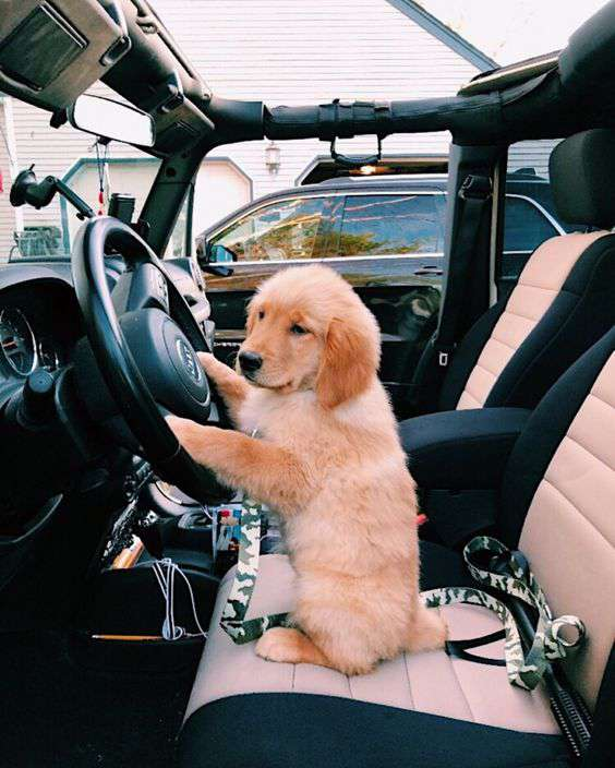 Golden Retriever driving car funny photo