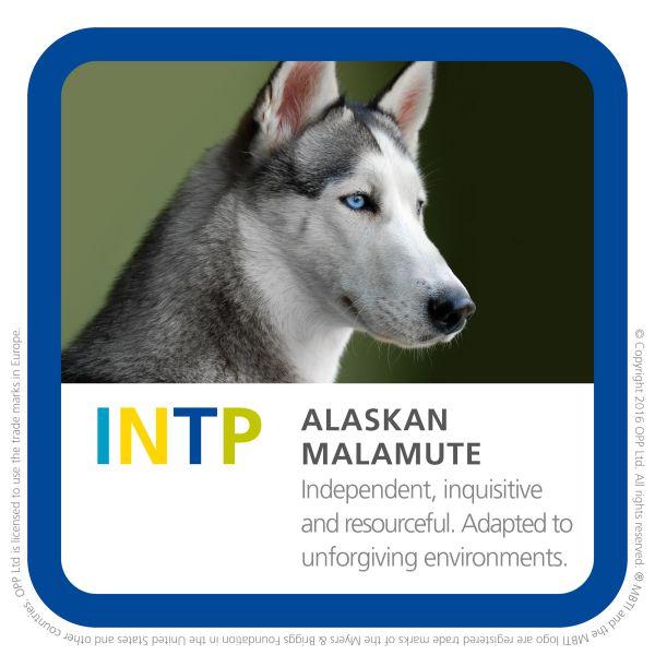 INTP alaskan malamute dog breed pic