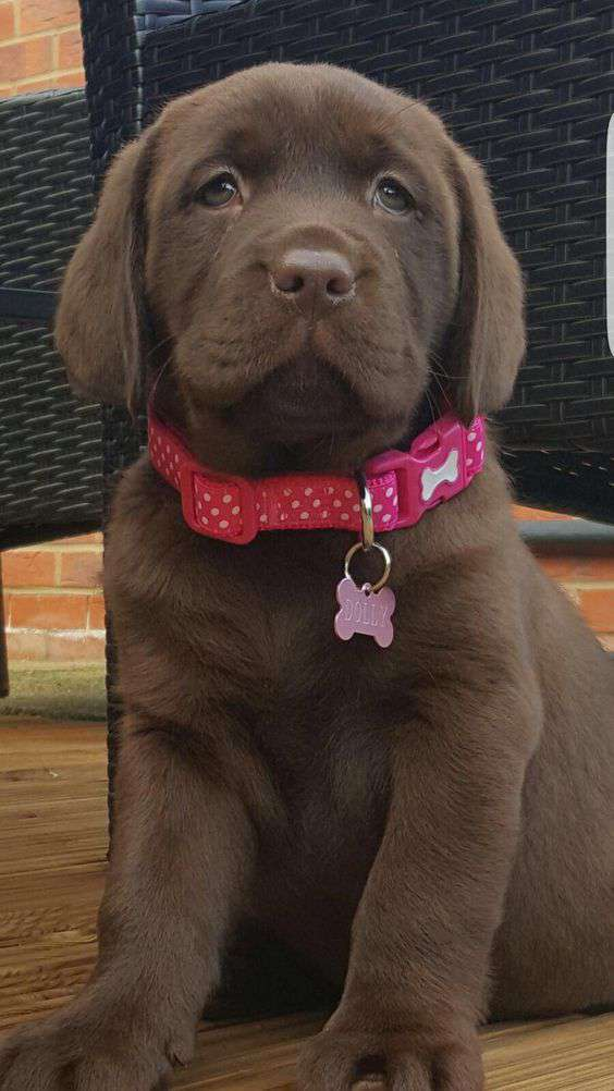 Labrador Retriever Dog Breed Picture pic