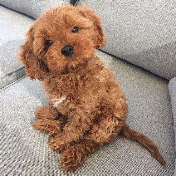 Poodle dog breed funy photo