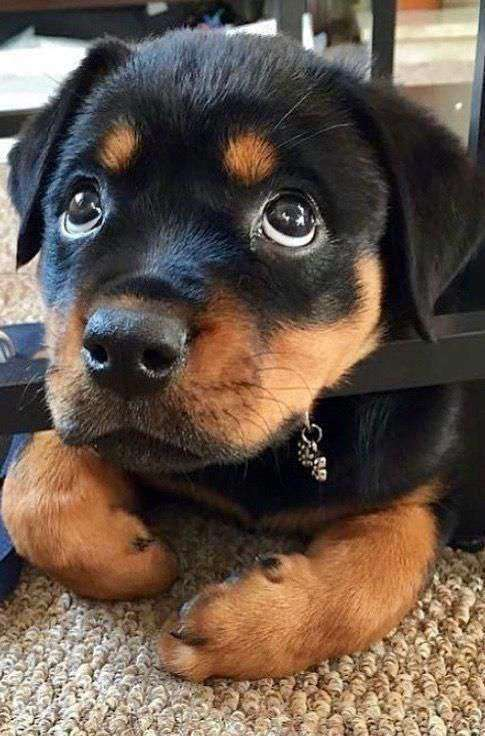 Rottweiler dog breed pic