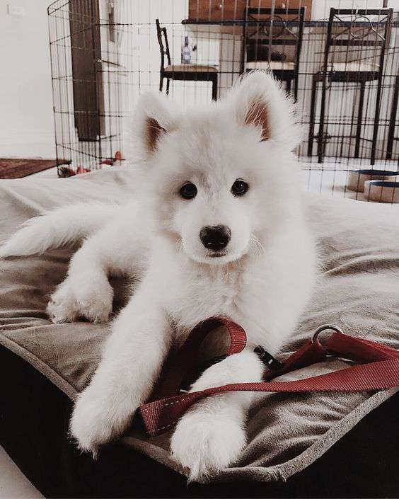 Samoyed dog breed cute picture