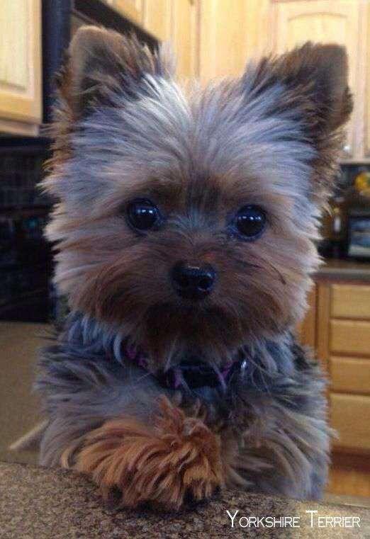 Yorkie Poo cutest pic