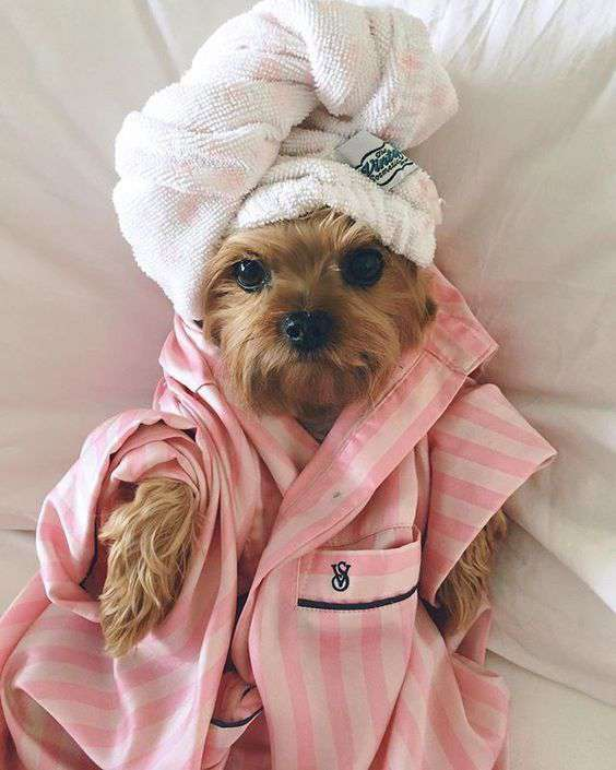 Yorkshire Terrier funy pic