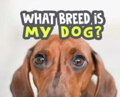 what-breed-is-my-dog quiz picture