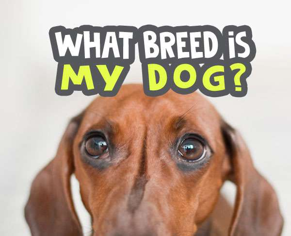 what breed is my dog quiz - what type of breed do i have featured image