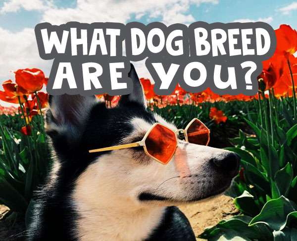 what dog breed are you quiz featured image