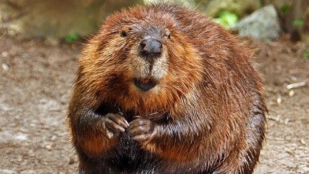 what animal are you quiz - Beaver animal image