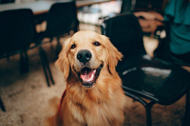 what animal are you quiz - golden retriever short-coated-tan-dog