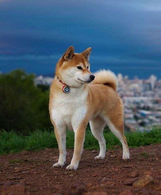Akita best pic