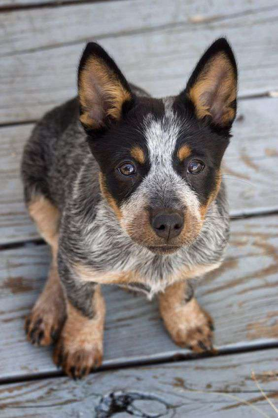 Australian Cattle Dog looking at me picture