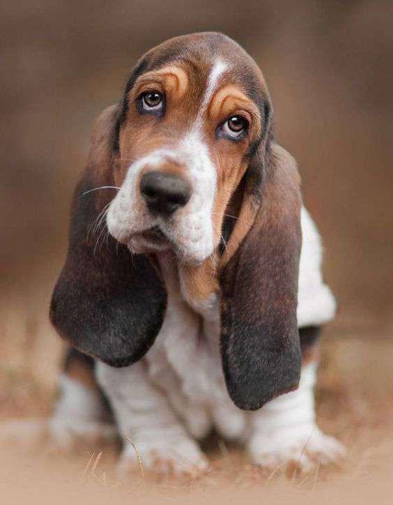 sad Beagle Dog breed img