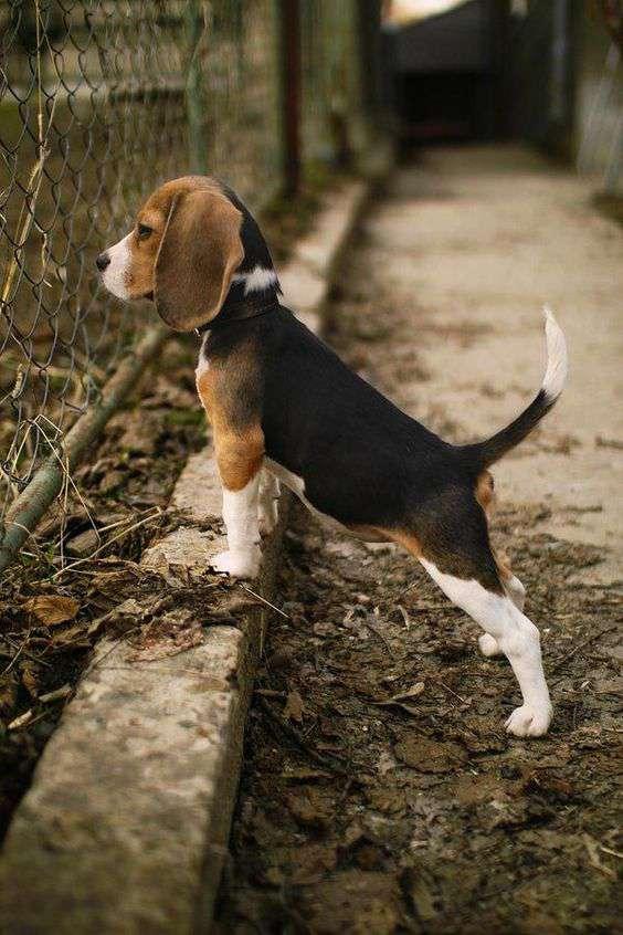Beagle dog breed image