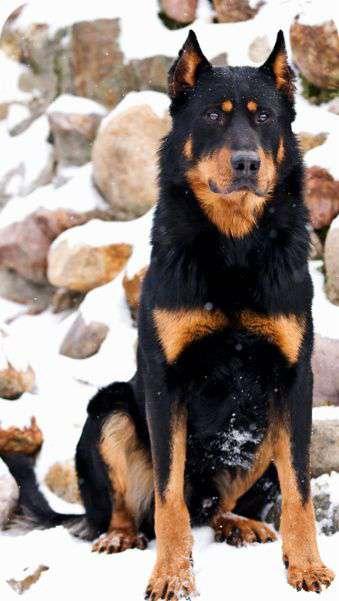 Beauceron dog breed potrait img