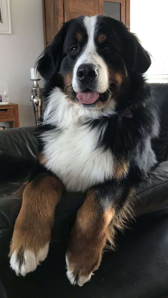 Bernese Mountain Dog funny pic