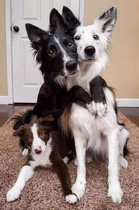 Border Collie dog breed family funny photos
