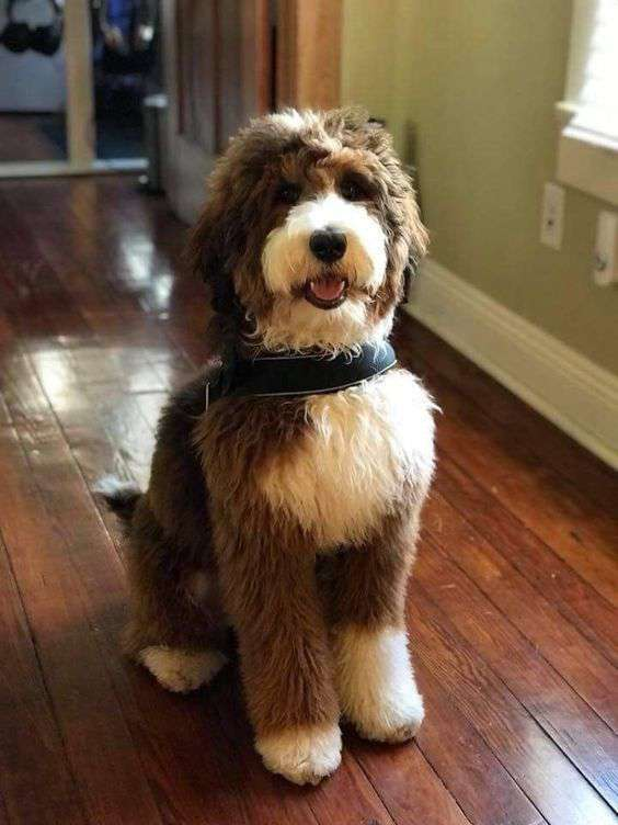Bordoodle in home dog picture