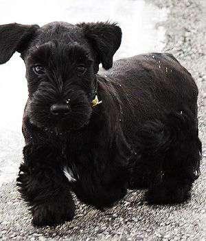 black Cesky Terrier puppy image