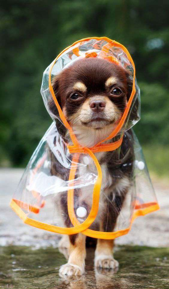 Chihuahua puppy crazy funny pic