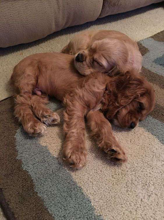 Cocker Spaniel cute puppies image