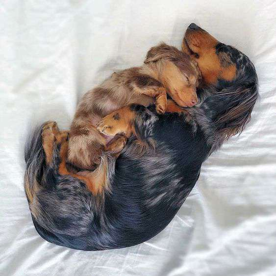 Dachshund cute and funny picture