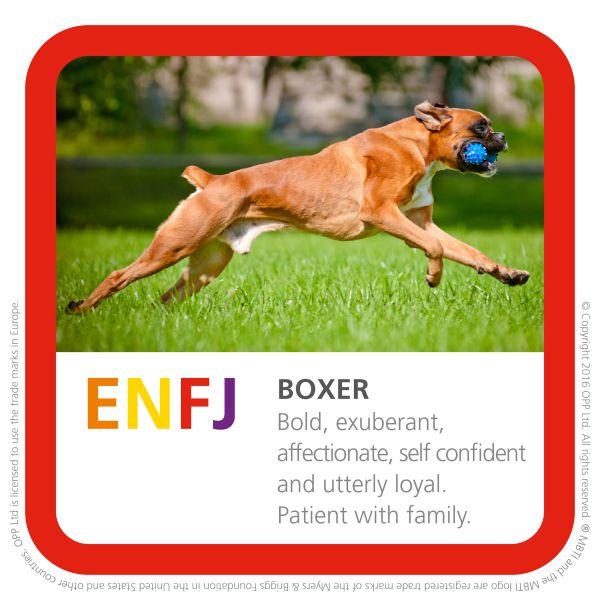 ENFJ boxer breed of dog photo