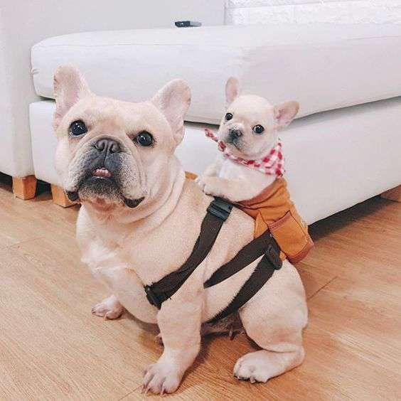 funny French Bulldog Dog pic
