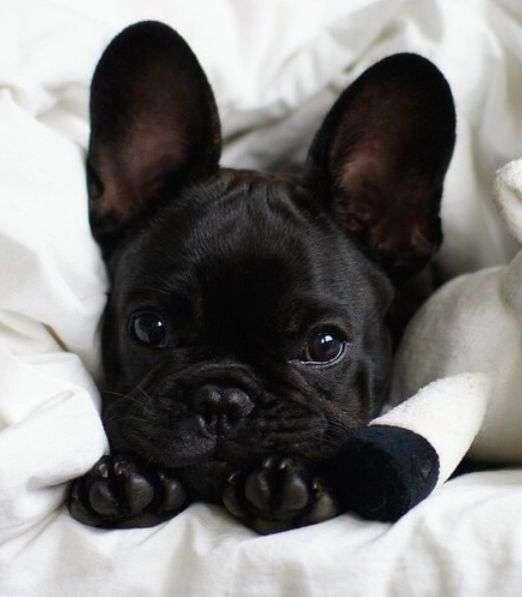 black French Bulldog puppies funy photo