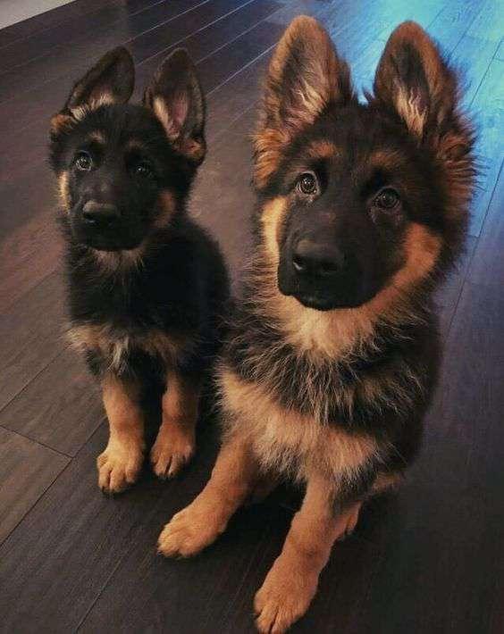 German Shepherd two dog breeds cute pic