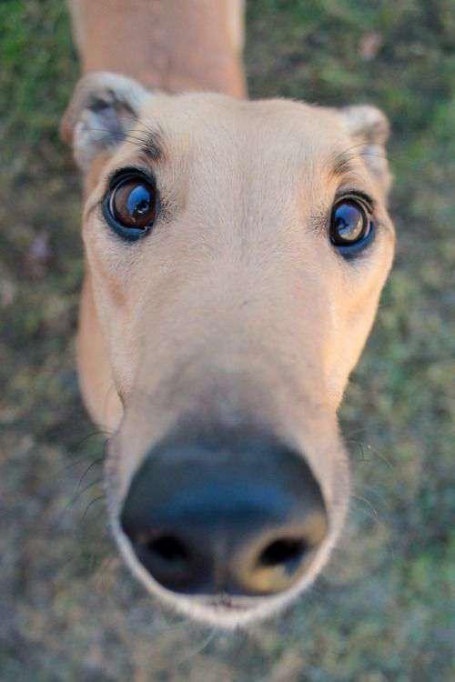 Greyhound funny face photo