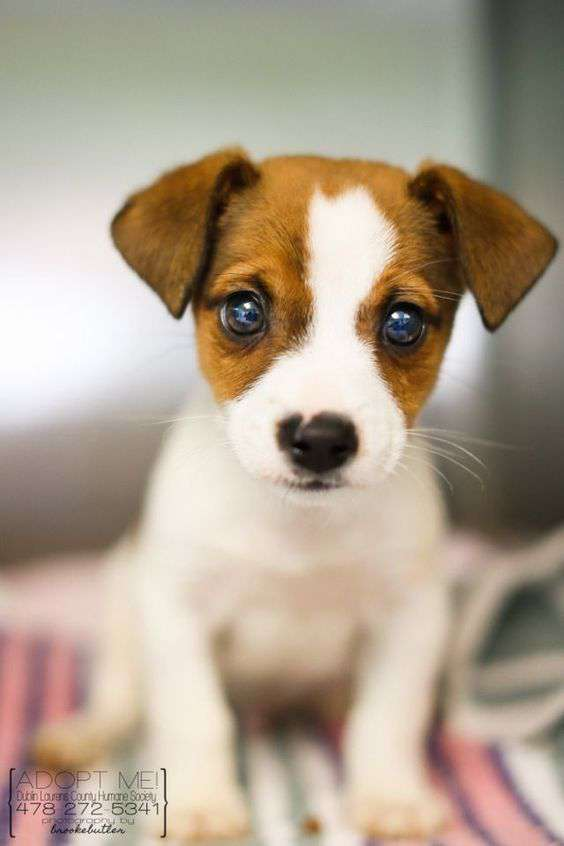 Jack Russell Terrier adorable pic