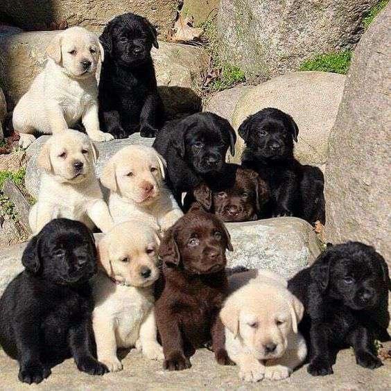Labrador Retriever dog breed funny puppies picture