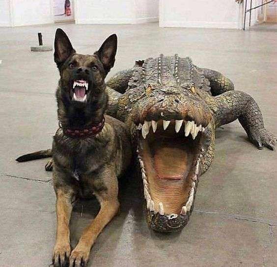 Malinois and crocodile picture