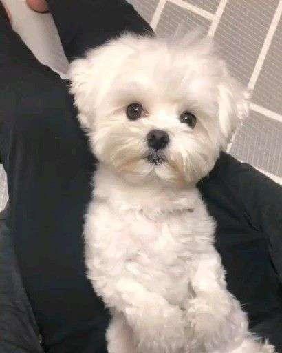 Maltese dog breed pic