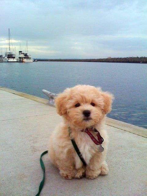 Maltipoo puppy on the beach photoshoot