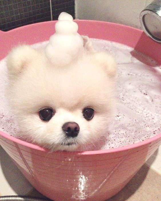 Pomeranian dog breed cute and funny picture