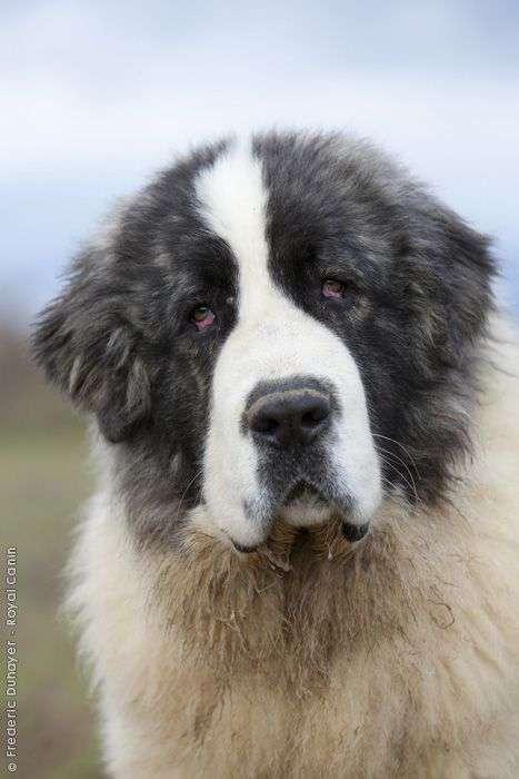 Pyrenean Mastiff head picture