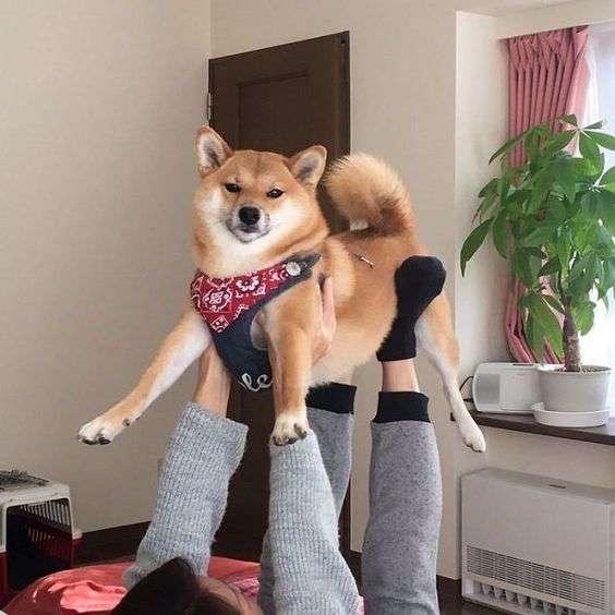 cute Shiba Inu and human photo