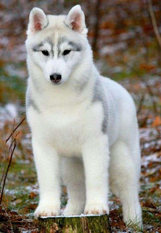 Siberian Husky dog breed pic