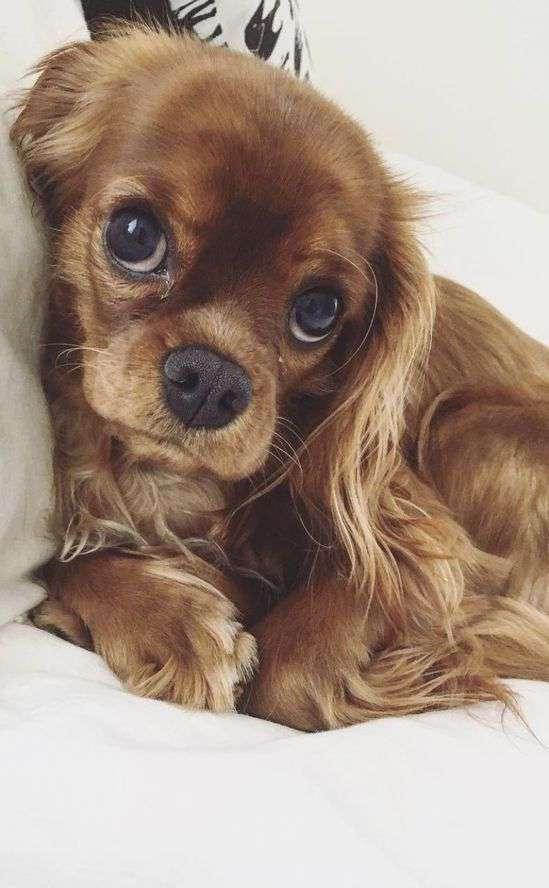 Spaniel Puppy funny photo