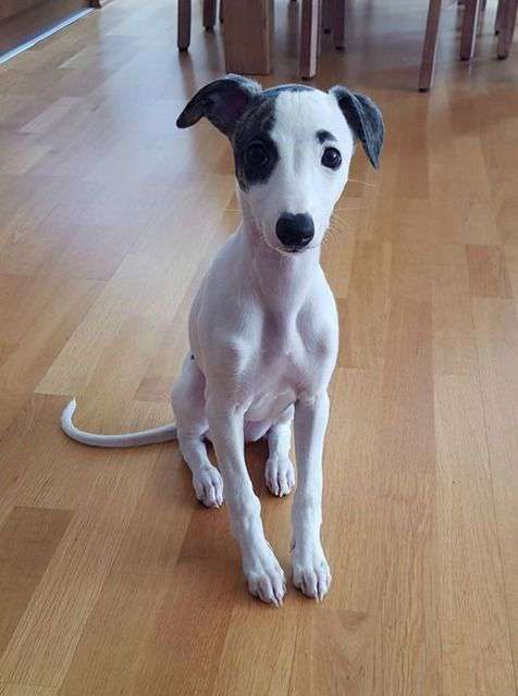 Whippet Puppy photo