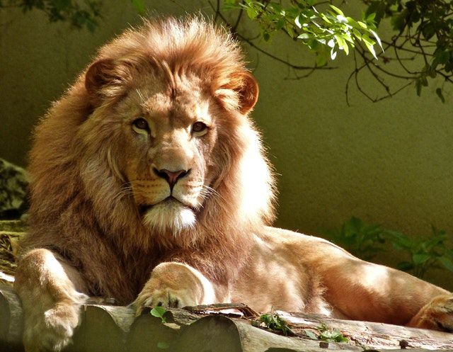 what animal are you quiz - close-up-portrait-of-lion